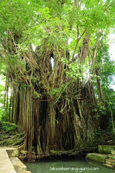 The century-old balete tree