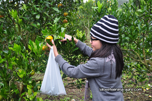 Orange picking in Sagada