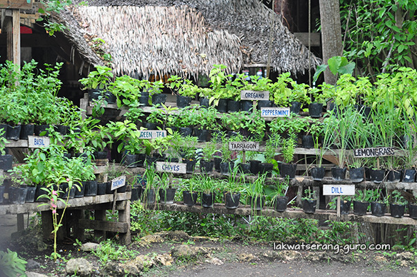 Different herbs in Bohol Bee Farm