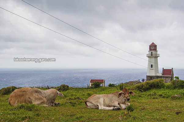 Cows razing by the Tayid Lighthouse