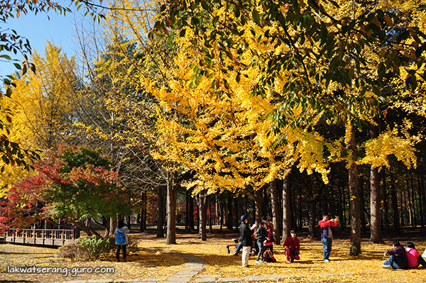 Fall foliage at Nami Island, Gapyeong, Gyeonggi-do